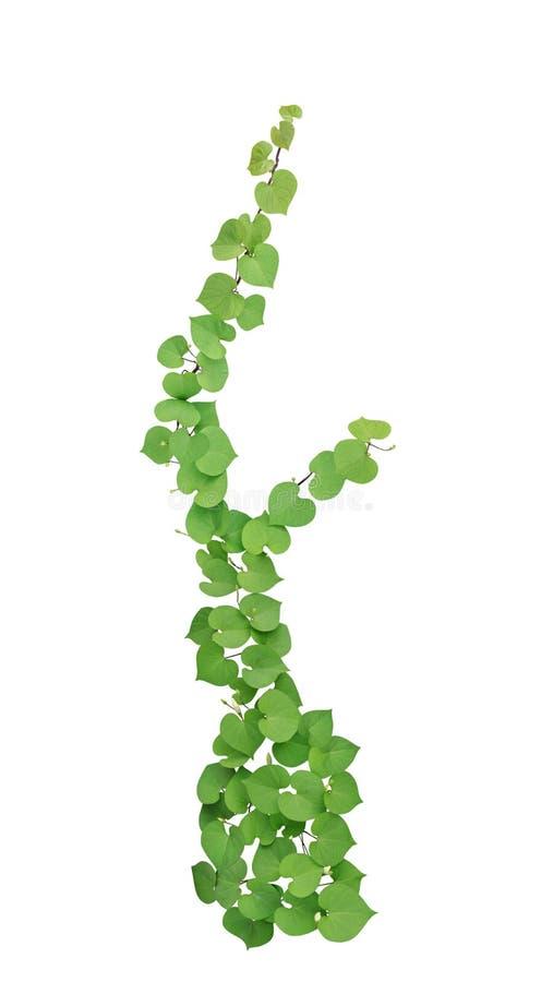 El verde en forma de corazón se va con la planta tropical aislada en blanco, trayectoria de las parras de la flor del brote imagenes de archivo