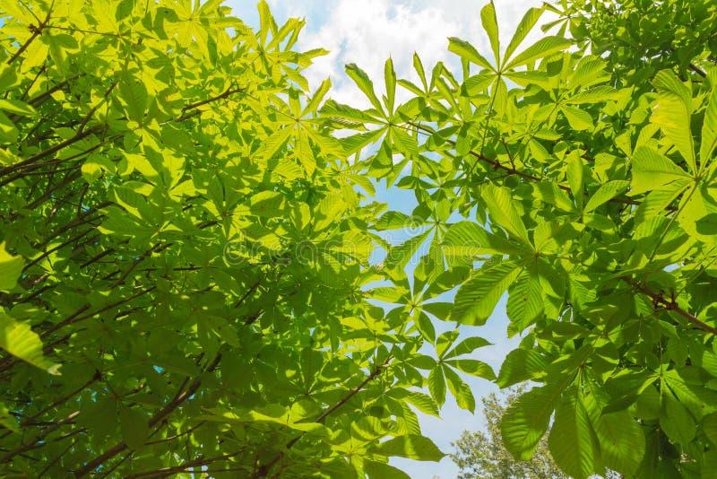 El verde grande se va en el árbol el día soleado foto de archivo