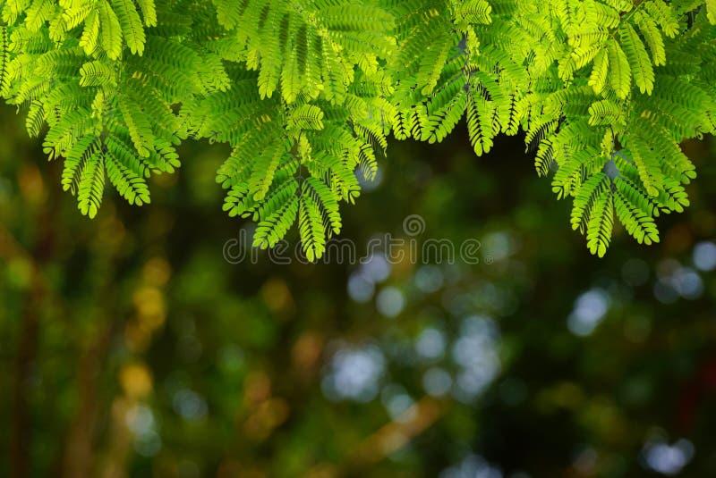El verde natural se va con la primavera del bokeh de la falta de definición o el fondo del verano fotografía de archivo libre de regalías
