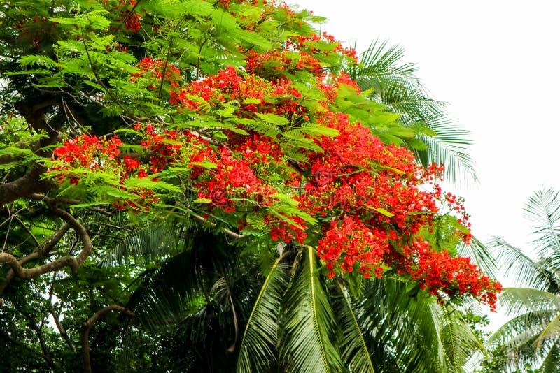 El verde recién nacido floreciente de la flor roja del árbol de llama se va en árbol imagenes de archivo