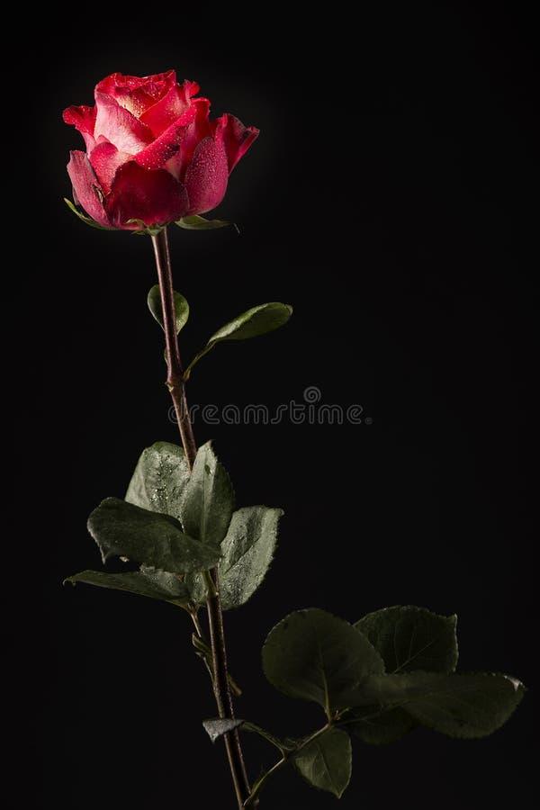 El verde rojo de la rosa del blanco se va con descensos del agua en un fondo oscuro foto de archivo libre de regalías