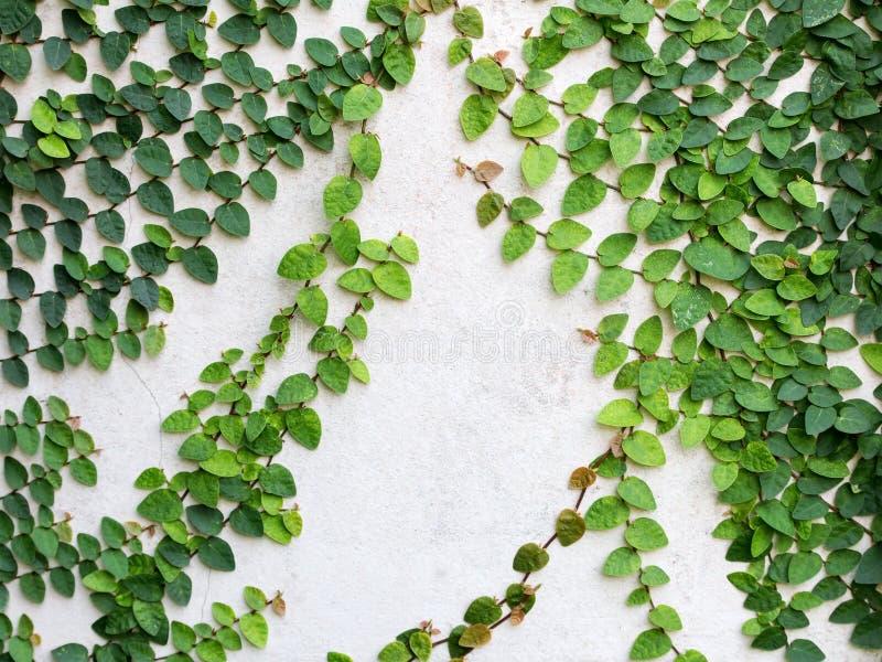 El verde sale de la planta de la enredadera en la pared Plantas para paredes verdes