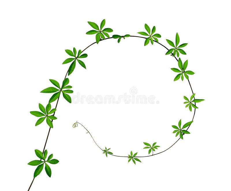 El verde sale de la planta que sube aislada en el fondo blanco, imagen de archivo libre de regalías