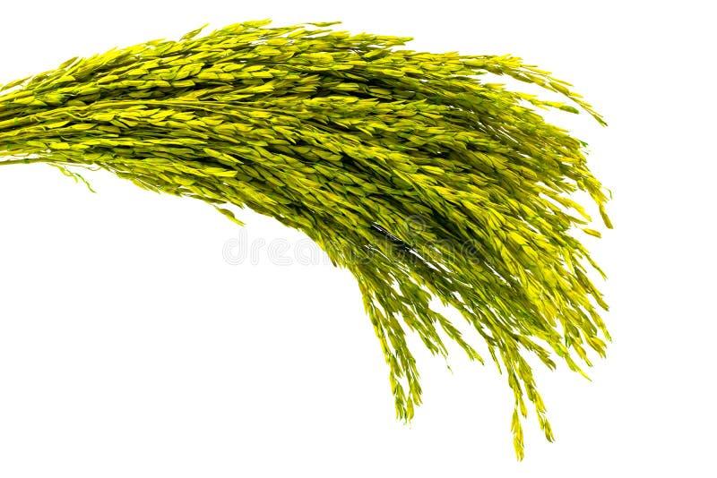 El verde secó el oído del arroz aislado imagenes de archivo