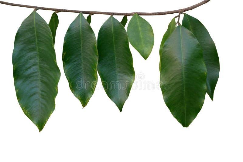 El verde tropical de la selva tropical se va en la ramita del árbol aislada en blanco fotografía de archivo