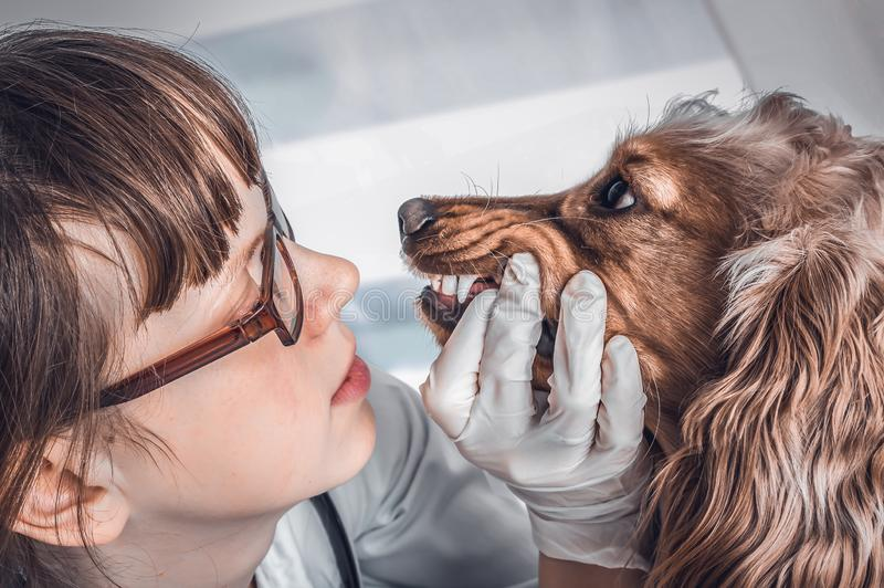 El veterinario comprueba los dientes a un perro imagen de archivo