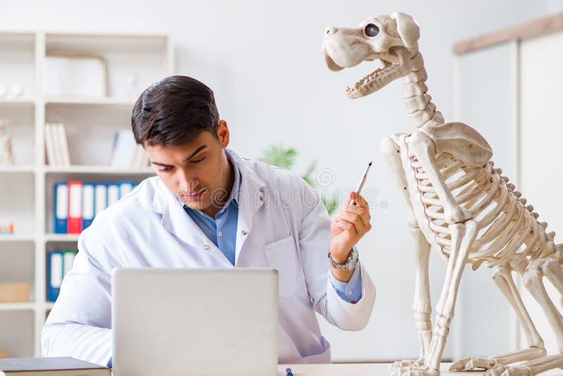 El veterinario del doctor que practica en el esqueleto del perro foto de archivo libre de regalías