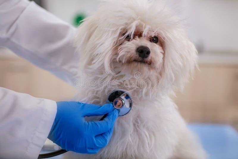 El veterinario examina el pequeño perro en la clínica del animal doméstico, detección temprana y foto de archivo