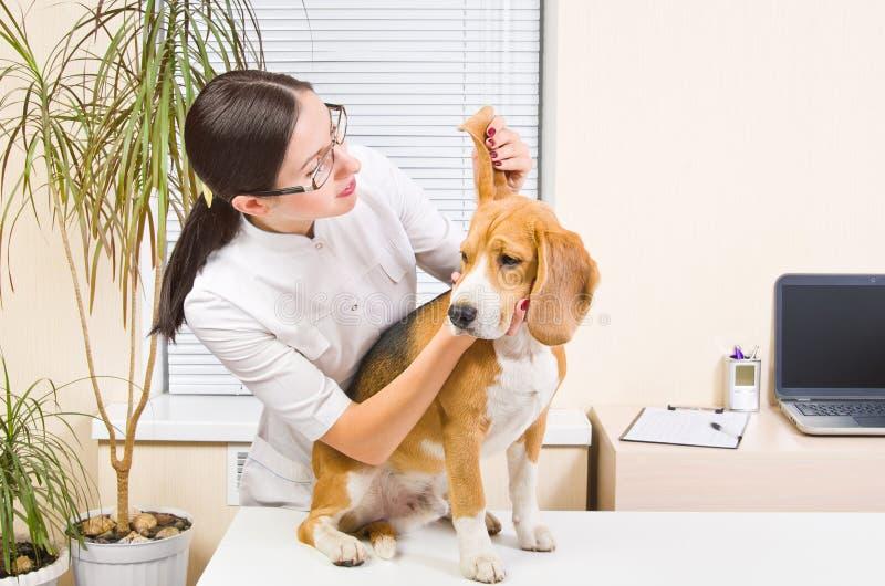 El veterinario examina los oídos de perro imágenes de archivo libres de regalías