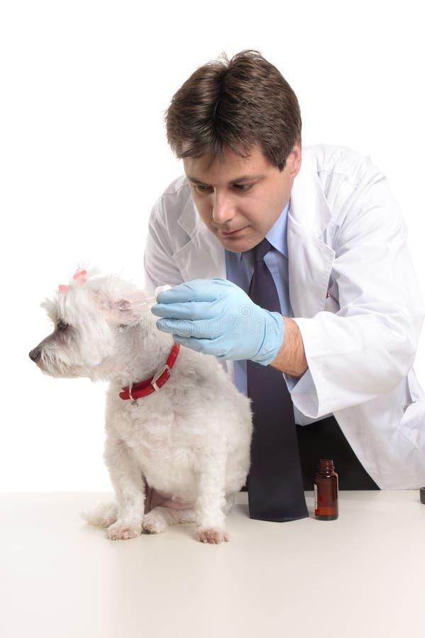 El veterinario pone gotas para el oído en los oídos de perros imagen de archivo