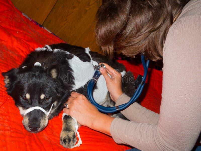 El veterinario revisa un perro perdido fotos de archivo