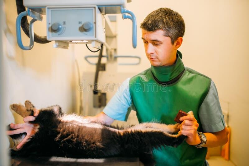 El veterinario toma la radiografía, clínica veterinaria imagen de archivo
