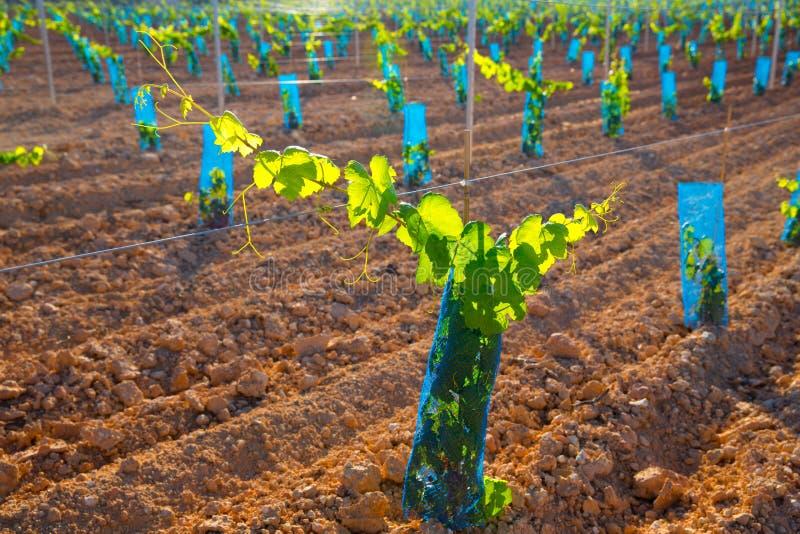 El viñedo brota las vides de uva del bebé en fila imagen de archivo