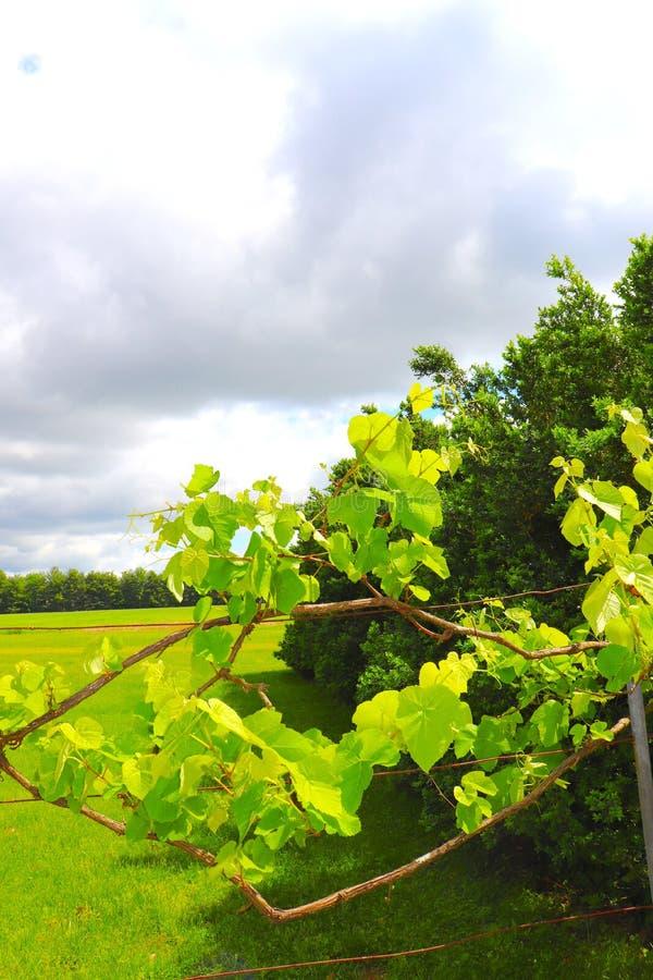 El viñedo comienza a crecer en primavera fotografía de archivo libre de regalías