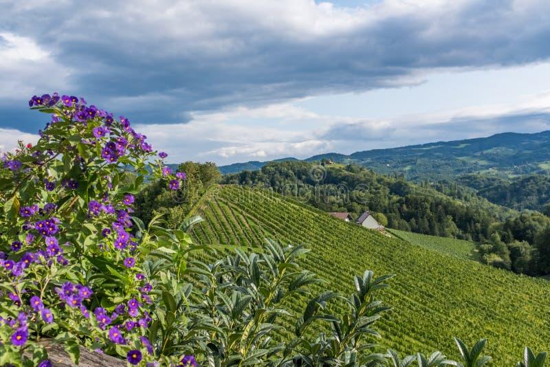 El viñedo con el Pelargonium violeta florece en Estiria del sur fotografía de archivo libre de regalías