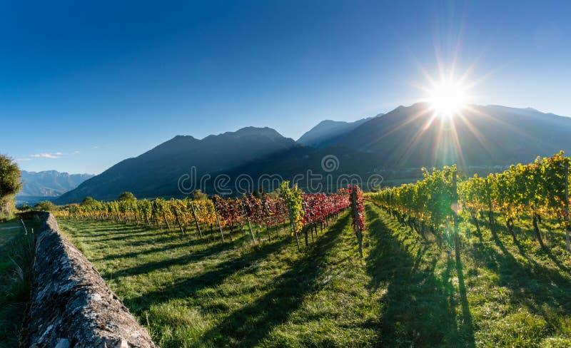 El viñedo y la montaña del panorama ajardinan en las montañas suizas en otoño con el ajuste del sol imagen de archivo libre de regalías