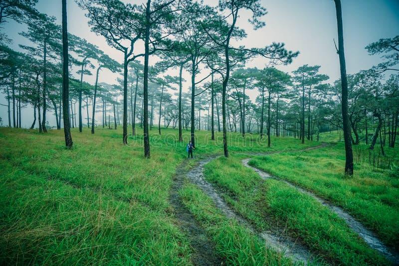 El viajero camina por un bosque de pinos en Phu soi Dao, Uttaradit, Tailandia imagen de archivo libre de regalías