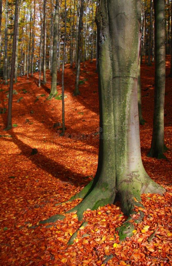 Download El viejo foto de archivo. Imagen de árbol, bosque, rojo - 41900100
