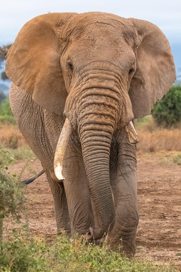 El viejo caminar del elefante fotos de archivo
