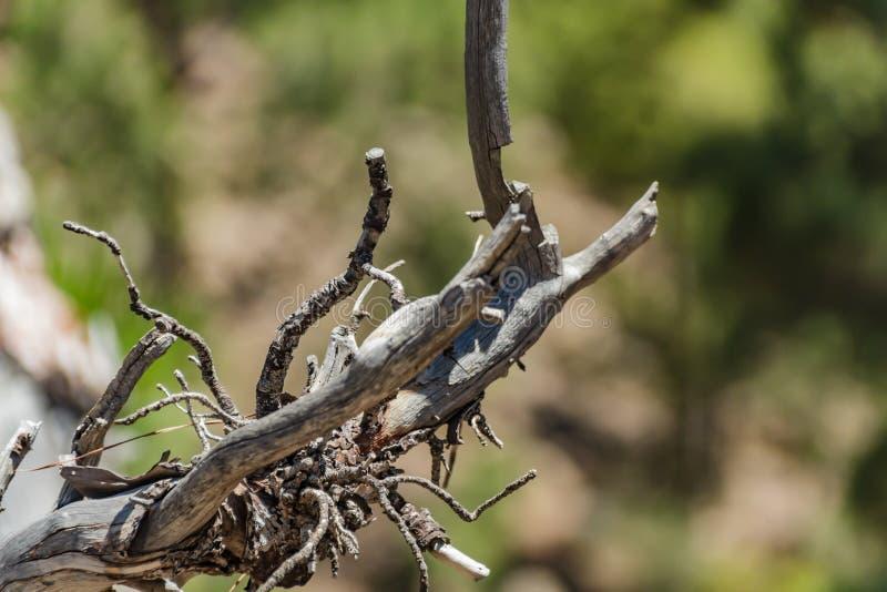 El viejo gancho secado-para arriba del árbol de pino Las ramitas nudosas se pegan hacia fuera a los lados Cerca para arriba, foco imágenes de archivo libres de regalías