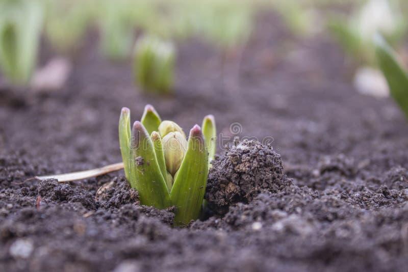 El viejo texturespring gris de madera comenzó las primeras flores de la primavera foto de archivo libre de regalías