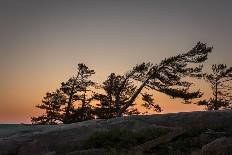El viento barrió pinos en la bahía georgiana imágenes de archivo libres de regalías