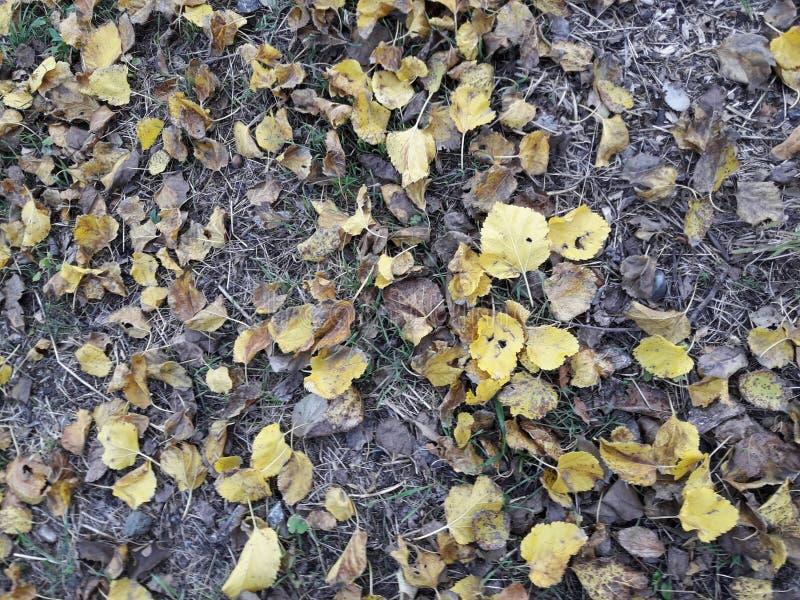 El viento comenzó y las hojas amarillas del árbol de mora cayeron abajo fotos de archivo