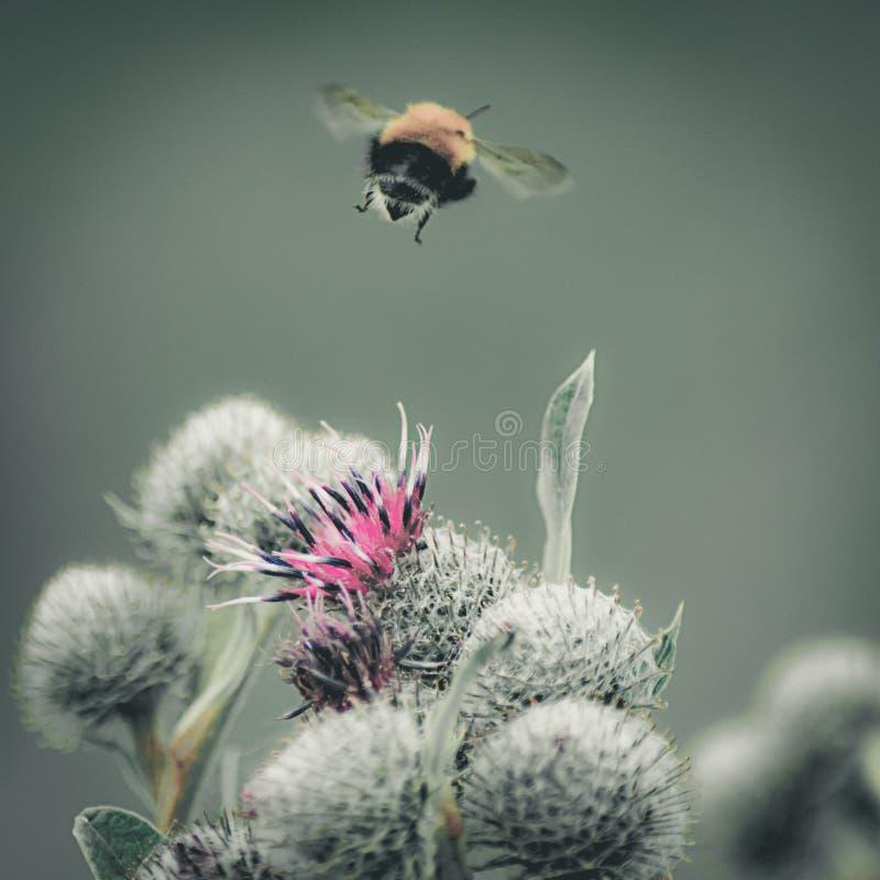 El vintage se descoloró imagen del primer de un vuelo del abejorro lejos de la gran flor púrpura del cardo de globo, fondo verde  imagenes de archivo