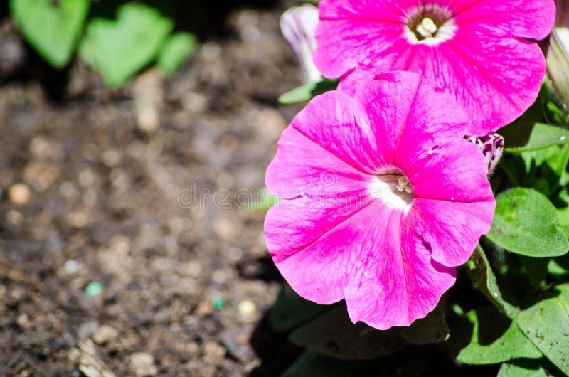 El ` violeta de Ramblin de la petunia x del ` rosado rojo hermoso del hybrida florece en una estación de primavera en un jardín b imagen de archivo