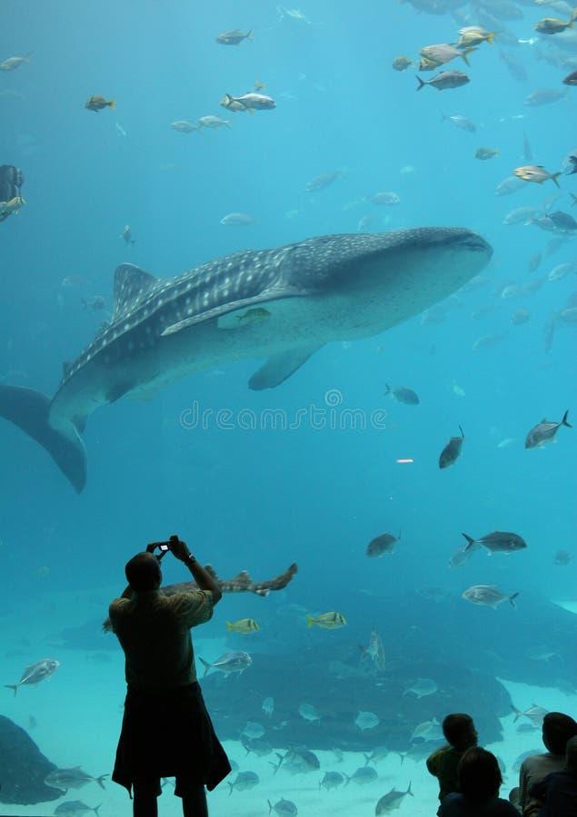 El visitante a Georgia Aquarium fotografía un tiburón de ballena fotos de archivo
