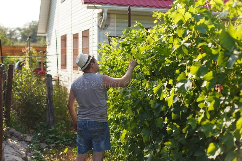 El viticultor está comprobando la uva blanca en el viñedo por el tiempo soleado fotos de archivo