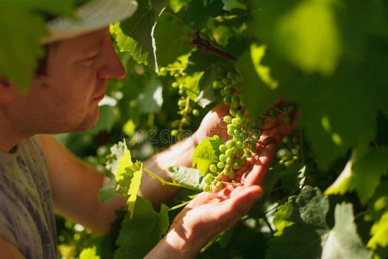 El viticultor está comprobando la vid blanca en el viñedo por el tiempo soleado fotografía de archivo