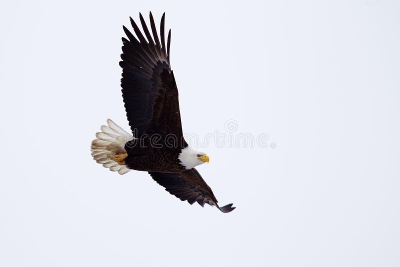 El volar americano de Eagle calvo foto de archivo