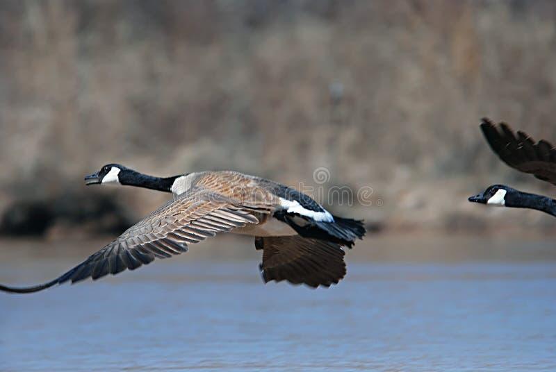 El volar canadiense de los gansos foto de archivo libre de regalías