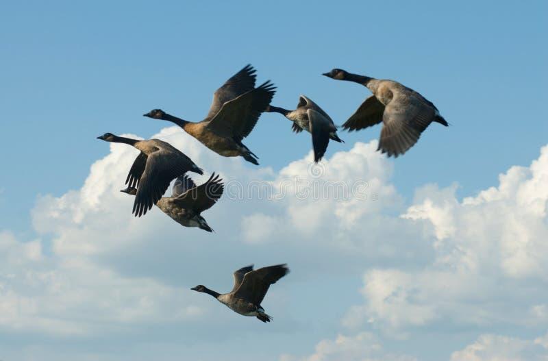 El volar canadiense de los gansos fotos de archivo libres de regalías
