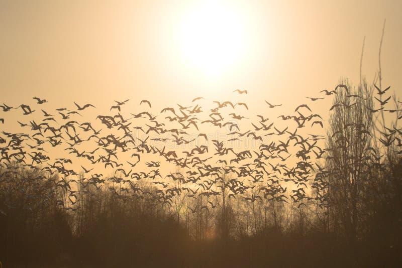 El volar de los gansos de nieve imágenes de archivo libres de regalías
