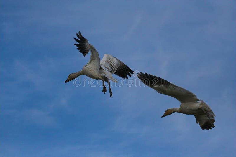 El volar de los gansos de nieve foto de archivo libre de regalías