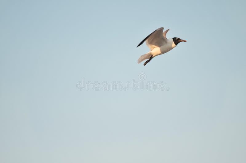Download El Volar De Los Pájaros De Mar Foto de archivo - Imagen de azul, bajo: 44851212