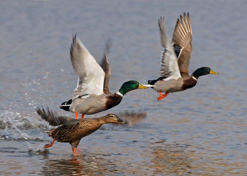 El volar de los patos salvajes fotos de archivo