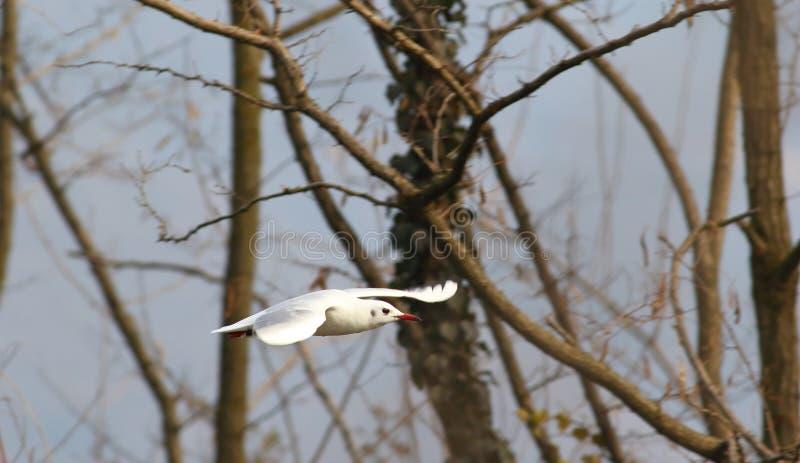 El vuelo de la gaviota común fotos de archivo