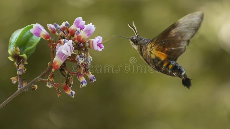 El vuelo de la polilla de colibrí foto de archivo