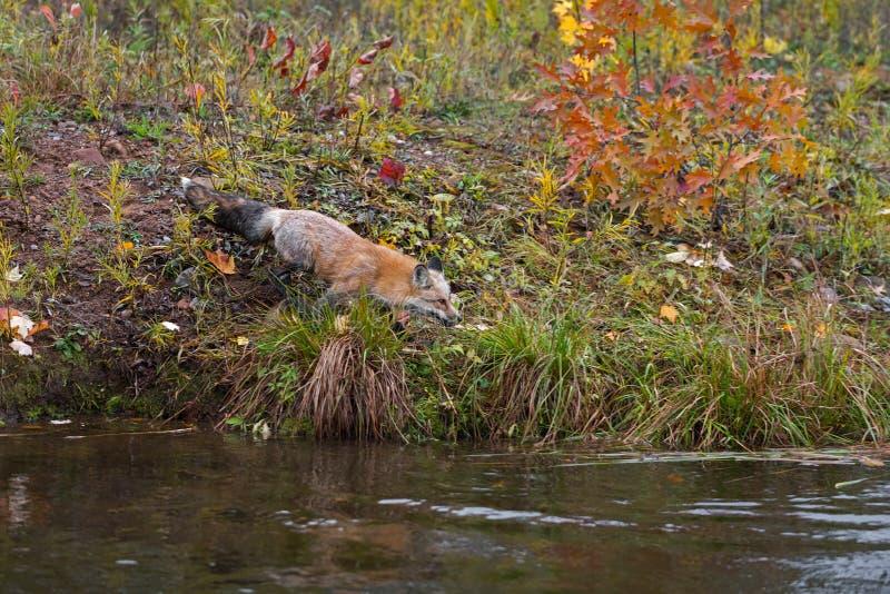 El vulpes de Amber Phase Red Fox Vulpes se mueve hacia el agua imagenes de archivo
