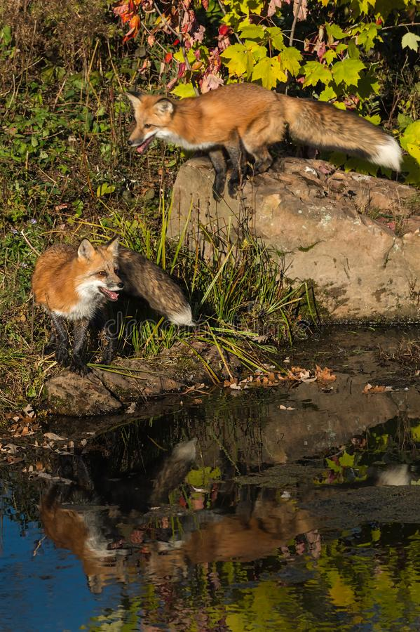 El vulpes del Vulpes del Fox rojo coloca uno detrás de saltos de roca fotos de archivo
