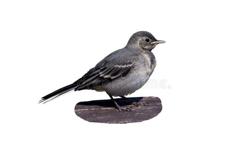 El wagtail del pájaro de bebé imagen de archivo