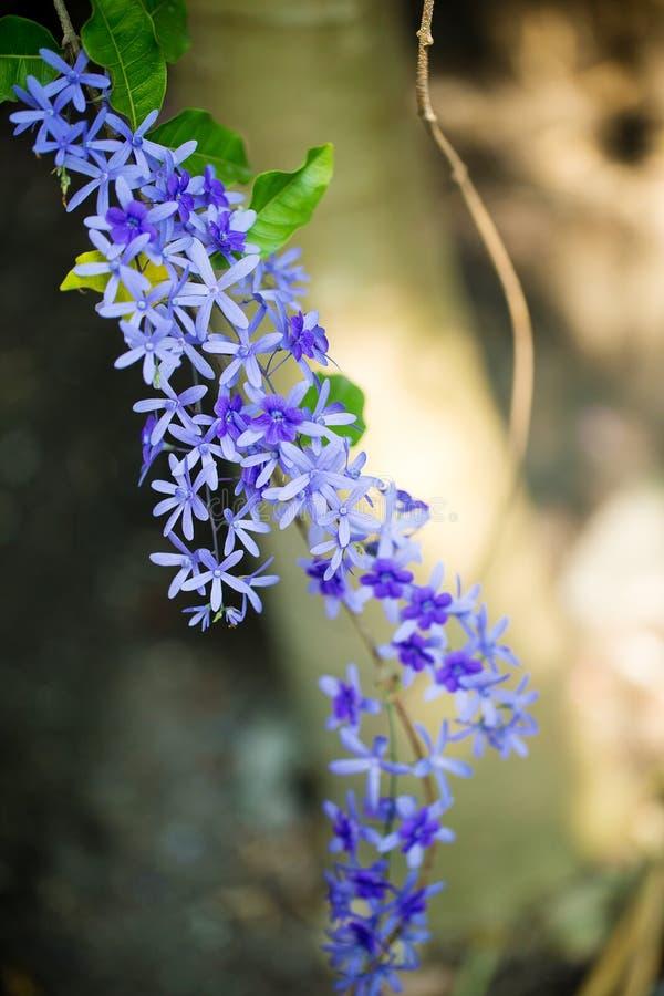 El weet floreciente de la flor púrpura de la inflorescencia Imagen para el fondo foto de archivo libre de regalías