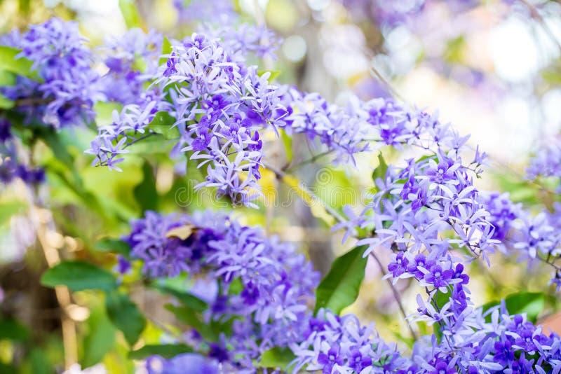 El weet floreciente de la flor púrpura de la inflorescencia Imagen para el fondo imagen de archivo libre de regalías