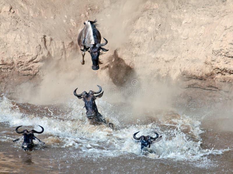 El Wildebeest salta en el río de un alto acantilado foto de archivo libre de regalías