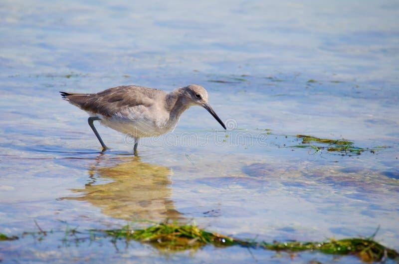El willet del este que vadea la alimentación del pájaro de la línea de la playa fotos de archivo