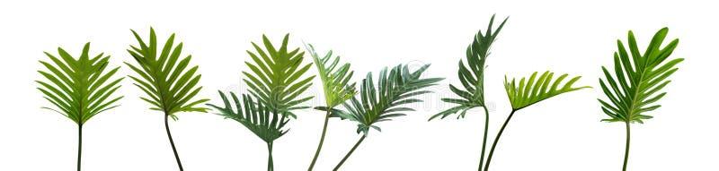 El xanadu del Philodendron, las hojas tropicales fijó aislado en blanco foto de archivo