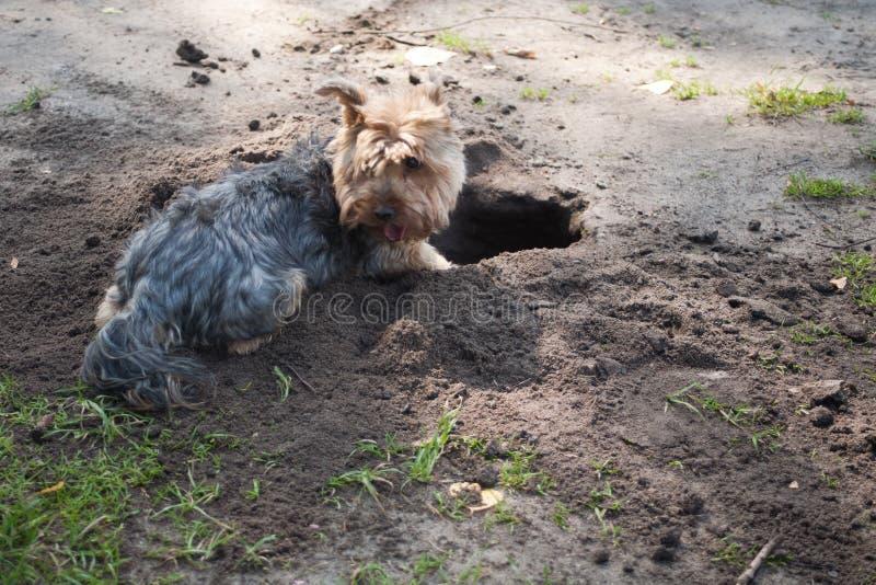 El Yorkshire Terrier es una pequeña raza del perro del tipo del terrier, desarrollada durante el siglo XIX en Yorkshire, Inglater imágenes de archivo libres de regalías